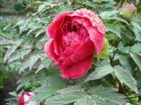 花と泉の公園2017-05-14牡丹園045