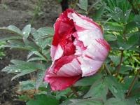 花と泉の公園2017-05-14牡丹園046