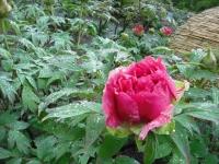 花と泉の公園2017-05-14牡丹園043