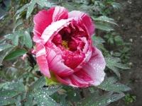 花と泉の公園2017-05-14牡丹園054