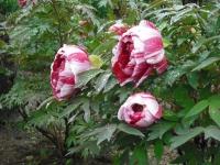 花と泉の公園2017-05-14牡丹園051