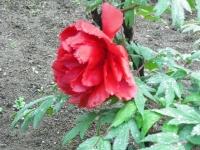 花と泉の公園2017-05-14牡丹園050