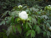 花と泉の公園2017-05-14牡丹園057