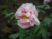 花と泉の公園2017-05-14牡丹園055