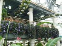 花と泉の公園2017-05-14ベゴニア館053