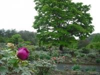 花と泉の公園2017-05-14牡丹園066