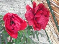 花と泉の公園2017-05-14牡丹園065