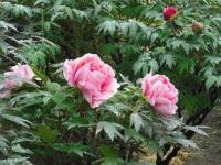 花と泉の公園2017-05-14牡丹園061