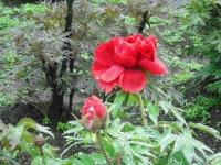 花と泉の公園2017-05-14牡丹園069
