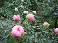 花と泉の公園2017-05-14牡丹園068