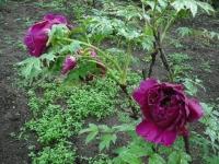 花と泉の公園2017-05-14牡丹園067