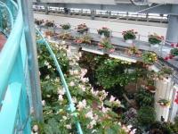 花と泉の公園2017-05-14ベゴニア館068