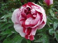花と泉の公園2017-05-14牡丹園076