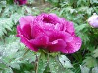 花と泉の公園2017-05-14牡丹園074