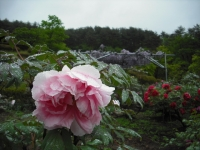 花と泉の公園2017-05-14牡丹園084