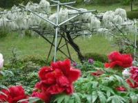 花と泉の公園2017-05-14牡丹園083