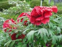 花と泉の公園2017-05-14牡丹園081