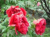 花と泉の公園2017-05-14牡丹園082