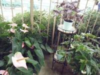 花と泉の公園2017-05-14ベゴニア館086