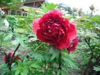 花と泉の公園2017-05-14牡丹園087