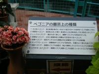 花と泉の公園2017-05-14ベゴニア館120