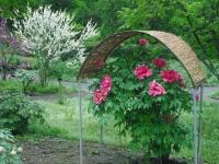 花と泉の公園2017-05-14牡丹園113