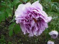 花と泉の公園2017-05-14牡丹園112