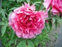 花と泉の公園2017-05-14牡丹園111