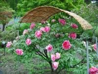 花と泉の公園2017-05-14牡丹園110