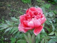 花と泉の公園2017-05-14牡丹園108