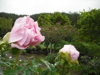 花と泉の公園2017-05-14牡丹園118