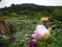 花と泉の公園2017-05-14牡丹園117