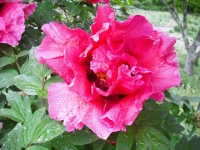 花と泉の公園2017-05-14牡丹園116