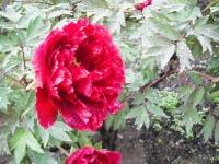 花と泉の公園2017-05-14牡丹園115