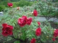 花と泉の公園2017-05-14牡丹園114