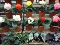 花と泉の公園2017-05-14ベゴニア館126