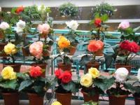 花と泉の公園2017-05-14ベゴニア館125