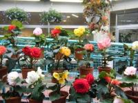 花と泉の公園2017-05-14ベゴニア館124