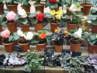 花と泉の公園2017-05-14ベゴニア館123