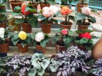 花と泉の公園2017-05-14ベゴニア館122