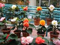 花と泉の公園2017-05-14ベゴニア館121