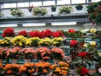 花と泉の公園2017-05-14ベゴニア館132