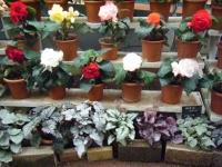 花と泉の公園2017-05-14ベゴニア館130