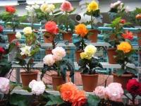 花と泉の公園2017-05-14ベゴニア館129
