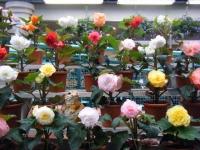 花と泉の公園2017-05-14ベゴニア館128