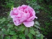 花と泉の公園2017-05-14牡丹園125