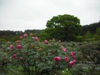 花と泉の公園2017-05-14牡丹園124