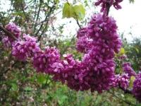 花と泉の公園2017-05-14牡丹園122