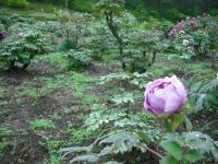 花と泉の公園2017-05-14牡丹園128