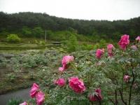 花と泉の公園2017-05-14牡丹園126